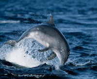 Dolphin Jumping in Portree Bay in Skye.