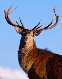 Red Deer Stag on the Isle of Skye in Scotland.