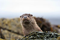 An Otter on the shore by the Isle of Skye.