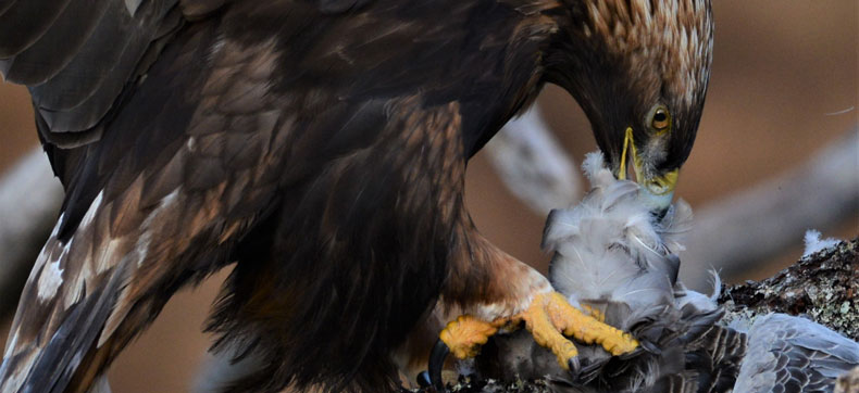 Eagle Eating Goose
